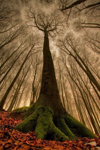 The amazing beech tree. | Most Beautiful Pages