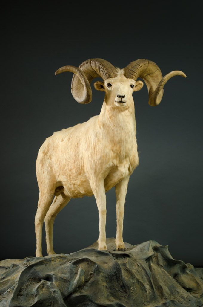 DALL SHEEP TAXIDERMY TROPHY MOUNT, a full mount ram with ...