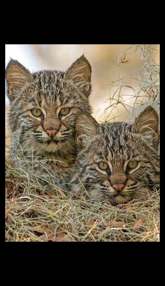 AWW....  sweet BOBCAT Kittens  #by D. C. Peters on flickr.com #cat cats cute kitty cub cubs wild life  wildness