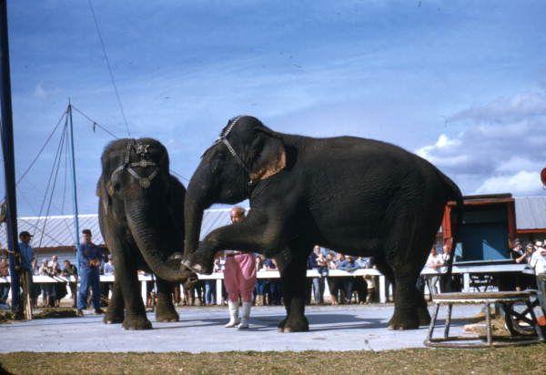 Florida Memory - View of an elephant act at the Ringling Circus in Sarasota, Florida.