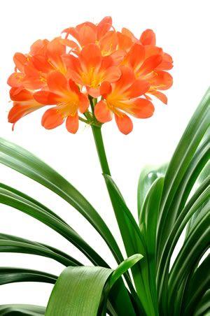 Clivia Pflanze