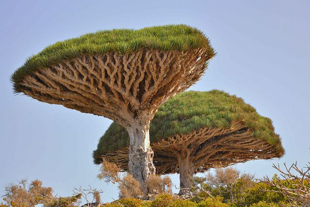 """Yemen, Socotra Island. Dracaena cinnabari (  dragon blood tree), known locally as Dam al-Akhawain (blood of the two brothers). The island is very isolated and a third of its plant life is found nowhere else on the planet. It has been described as """"the most alien-looking place on Earth"""". Photography - Rod Waddington."""