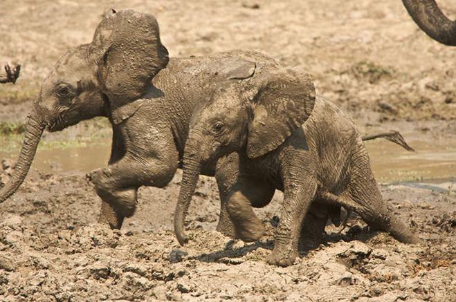 #goliathsafaris #manapools #zimbabwe #safari #africa #camp #tent #off2africa #holiday #elephant #babyelephant #stuckinthemud