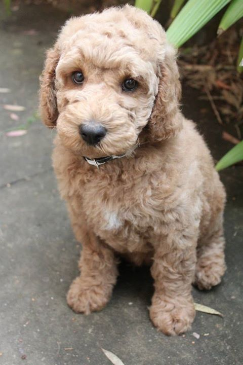 George the Labradoodle