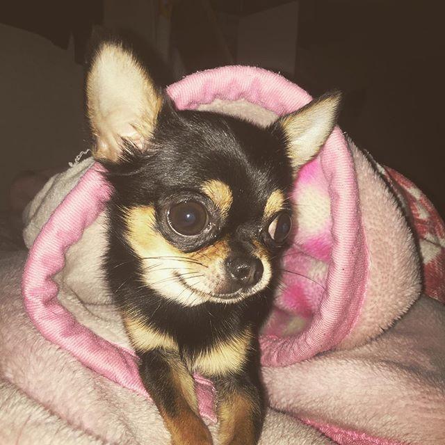 何故か、自分のすみかを作っている笑 出ようとしないし笑 可愛い♡ しかしそれはあたしの毛布だ。 #HAZZIE#はじんちゅ#はじんちゅカップル #はじんちゅと繋がりたい #ハジ→#毛布#リヤン#フランス語#絆#同棲カップル#チワワ#愛犬