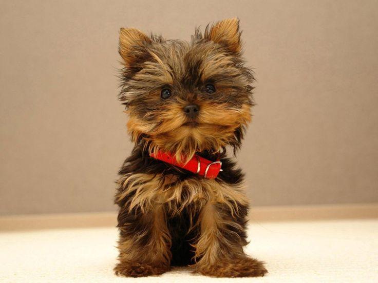Usa, la top 10 dei cani più amati