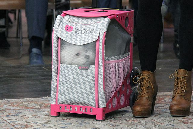 Lucy riding in style with the ZÜCA Pet Carrier