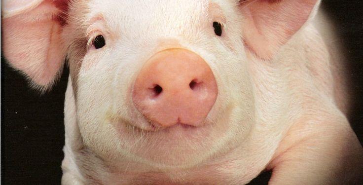 Almanya Çevre ve Tabiatı Koruma Birliği (BUND) halkı domuz eti tüketimine karşı uyardı. BUND aylık dergisi ve web sitesinde domuz etinin sağlığa zarar verebileceği, ayrıca erkeklerde sperm kalitesini düşürebileceği açıklandı. […]