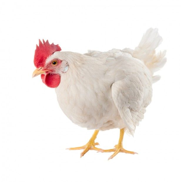 In the last 60 years, chickens have quadrupled their size, but it's not because their feed has changed, according to a new study.    Researchers at the University of Alberta in Canada found that broiler chickens have actually become more efficient at using the feed they take...