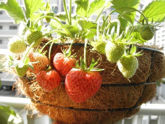 イチゴ の 植え付け 時期
