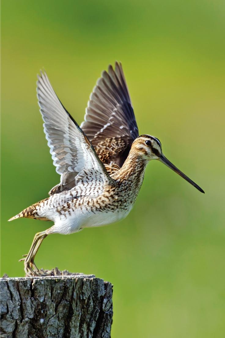 Die Bekassine ist NABU Vogel des Jahres 2013.