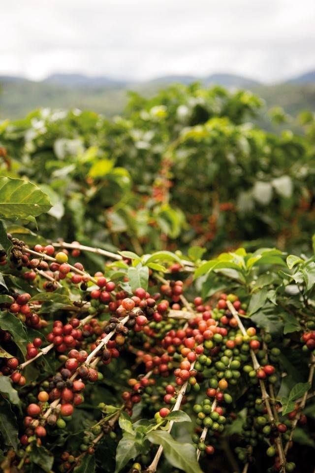Kosta Rika'dan kahve ağaçları ..