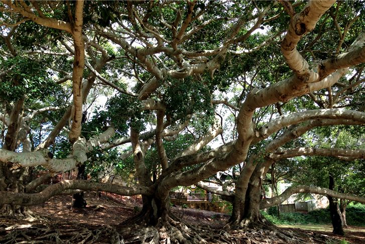 Find out where all the best climbing trees in Brisbane are for some nature play adventures with your Brisbane Kids.