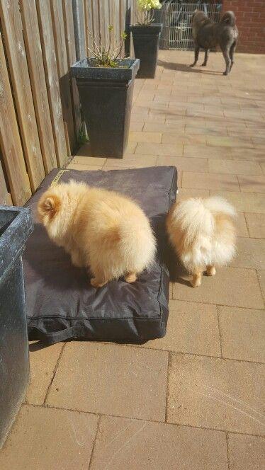Hond puppies