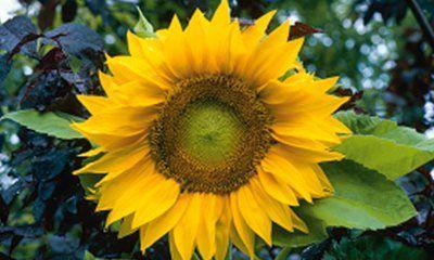 • Mina finaste solrosor har jag fått vid höstsådd. Den gör att fröerna kan komma igång och gro på våren precis när det passar dem, då jordtemperaturen är idealisk. Flera ettåriga blommor utvecklas fint vid höstsådd. Dit hör t ex ringblomma, blåklint och v