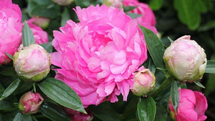 Pour bien fleurir, les pivoines doivent rester en place plusieurs années.