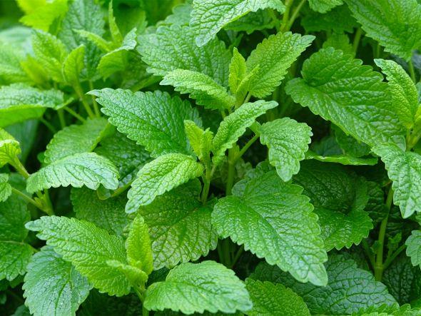 Die besten Heilpflanzen für Frauen   Melissen-Extrakt verhindert Herpes-Bläschen
