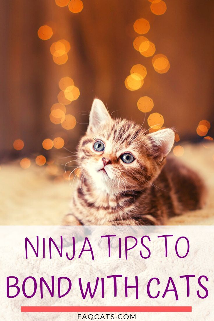 How To Bond With Your Cat In 2020 Cute Cats And Kittens Siamese Cats Cats