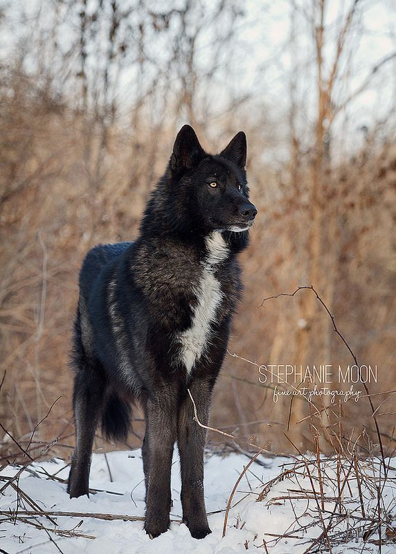 If I had a wolf it would look like this one! What is it about black wolves that make them so pretty?