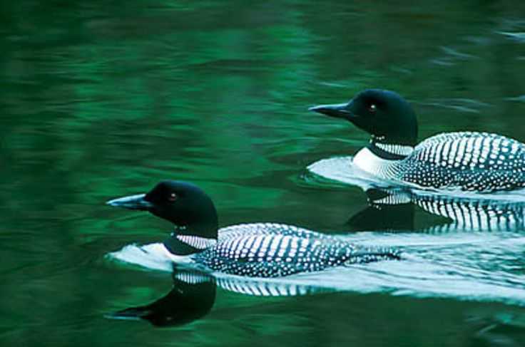 You know Spring is here when our Loons return.