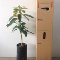 avocado bacon b for sale 4 litre bag very frost resistant and smaller growing avocado - Growing Avocado Trees
