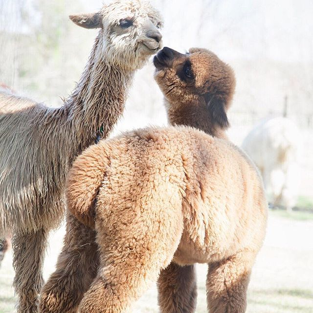 Our copies of #knitwitissuefive are arriving to #KWHQ tomorrow, which gives us almost as many warm-fuzzies as these alpacas. In the issue, knitwear designer @guera_borracha of Wooly Bully Knits gives us the over-under on alpaca farming in the United State