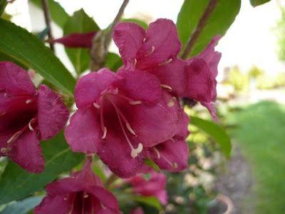 lonc virága