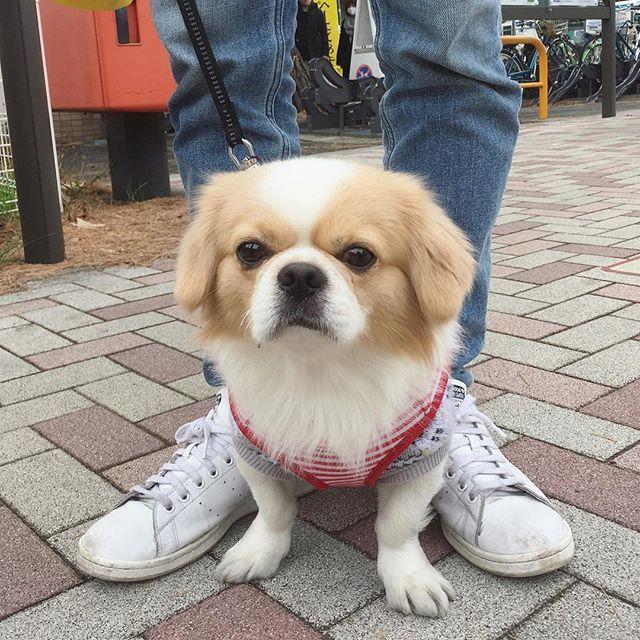 2016.12.30 🇯🇵 in japan . . 今日は仲良く3人でお散歩❤️ なんか口にお砂付いてない☺️?(笑) . . . #お散歩 #チワワ #ペキニーズ #チワペキ #チワニーズ #ラウくん #ラウちん #ペキスタグラム #愛犬 #わんこ #ワンコ #ペキニーズミックス #lol#instastyle #instagood #l4l #dog #love #baby #pet #pets #Chihuahua #Pekinese #mix #instagramdogs #dogstagram #ilovemydog #animal