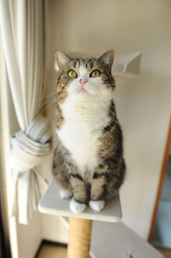 Maru the cat. Second greatest cat of all time (after my cat, Kitty, of course)