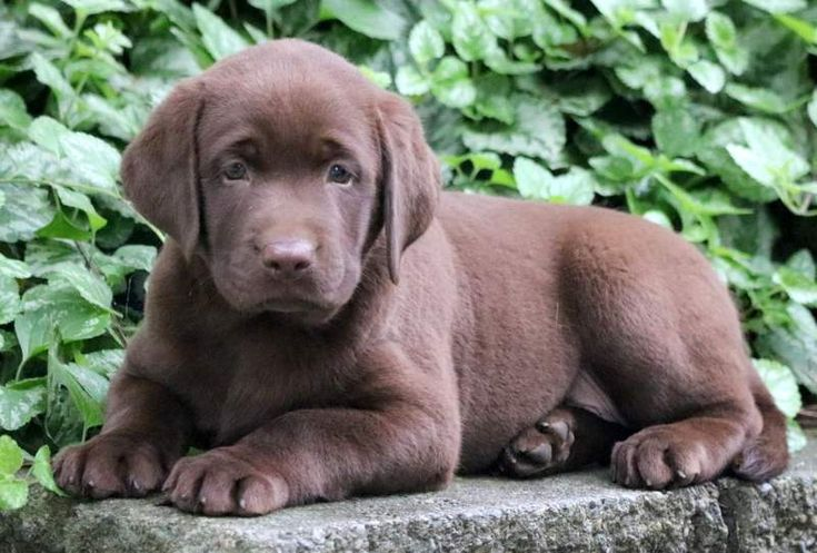 Droll English Labrador Retriever Puppies For Sale In Pa in