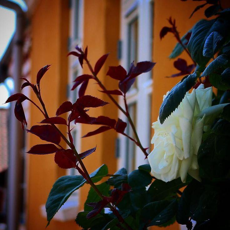 Smukke hvide roser i Assens #roses #igdenmark #nofilter #assensnatur #visitassens #mitassens #fynerfin
