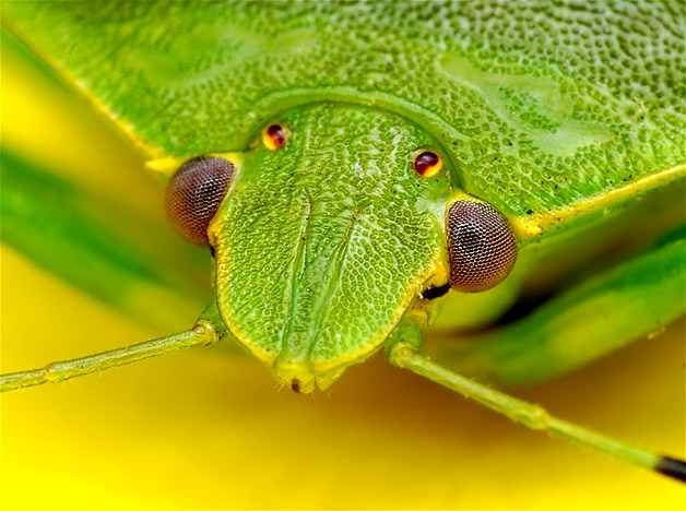 Green shield bugs are also referred to as green stink bugs and are very common throughout Europe. Without their antennae, they measure about 30 millimeters long. During the winter, the bugs hibernate in a type of cocoon and by the summer they start to mate