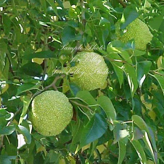 Maclura pomifera 12 Seeds Osage Orange Tree by SerendipitySeedsCom