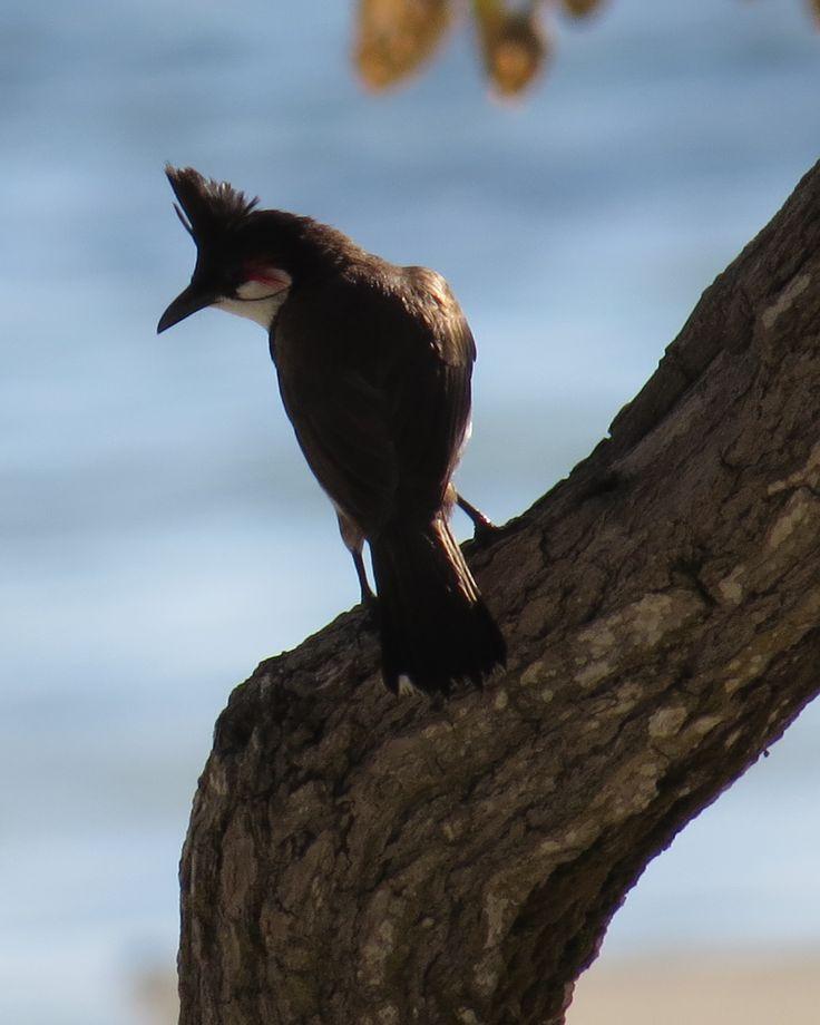 Mauritius Bull Bull Bird- Taken in Mauritius