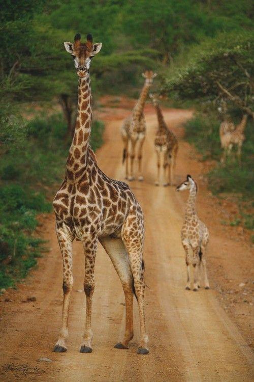 Giraffes. South Africa.