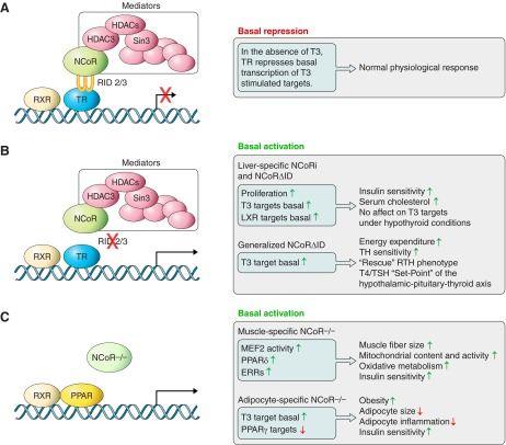 Thyroid Hormone Regulation of Metabolism | Thyroid hormone ...