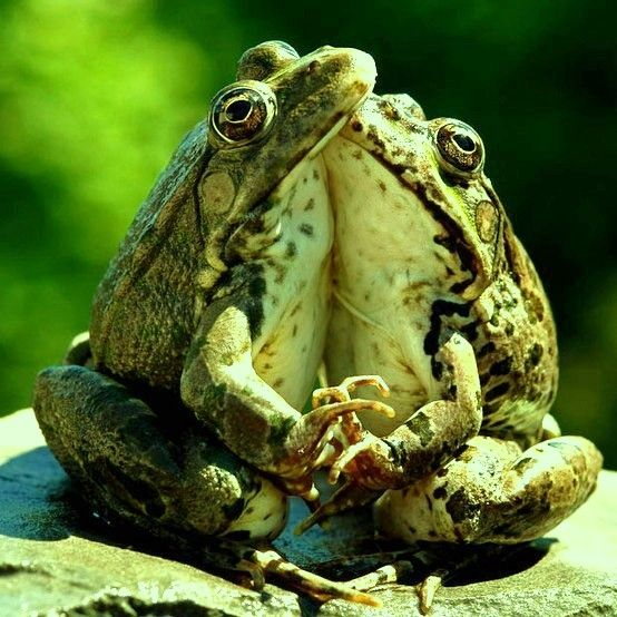 """""""The Dance of the Frogs"""" 