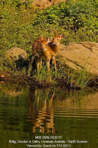 White-tailed deer fawns (Odocoileus virginianus) and reflection, Pine County, MN
