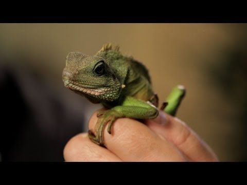 5 Care Tips for Chinese Water Dragons | Pet Reptiles - YouTube