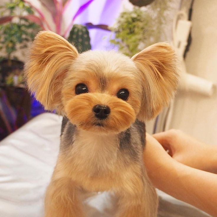 how to groom a yorkie puppy
