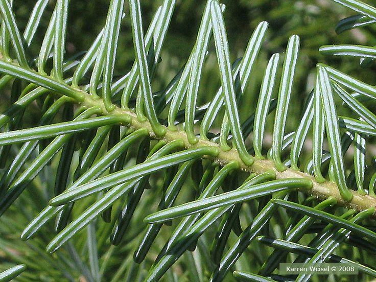 Balsem fir two white stripes on bottom of needles in