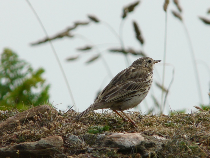 There are eight Pipits seen in Dorset. Four are very uncommon, you are unlikely to see Richards, Tawny, Olive Backed or Red Throated. The Water Pipit is a winter visitor to watercress beds. Tree Pipits are found in summer on heaths, usually perched in trees. The Rock Pipit is found on rocky sea cliffs. This leaves the Meadow Pipit for everywhere else! They have a marked drift towards coastal regions in autumn and winter. It is our most common pipit sometimes appearing in quite large flocks.