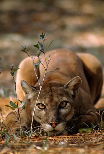 theanimaleffect:  Portrait Of Mountain Lion Laying Down Low by:Tom & Pat Leeson/KimballStock