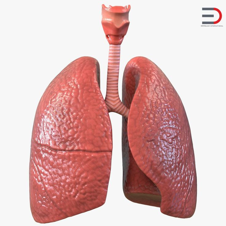 3D model Lung Anatomy
