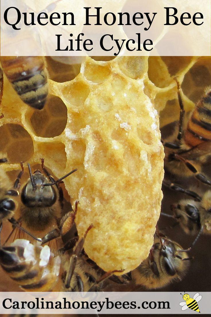 A queen cell containing a new honey bee queen. Carolina Honeybees Farm