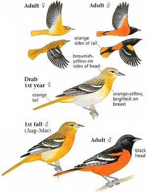 Baltimore Oriole. Photo taken from: The Sibley Field Guide to Birds of Western North America by David Allen Sibley.
