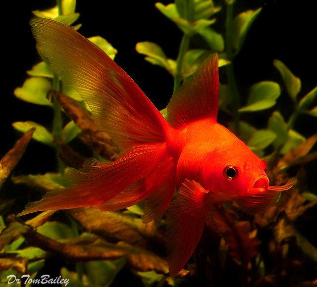Red Fantail Goldfish | Freshwater Fish | Pinterest