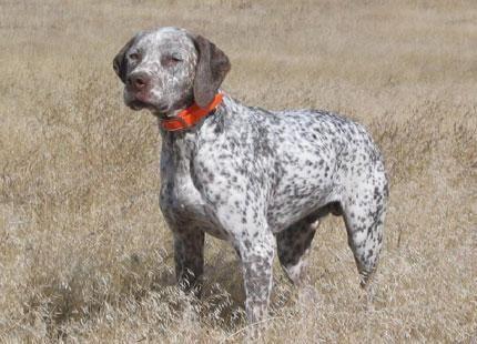 Braque du Bourbonnais #dogs #pets #ShermanFinancialGroup