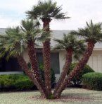 Mediterranean fan palm Chamaerops humilis Another great option for corner for more architectural less textural, just more expensive than Acacias