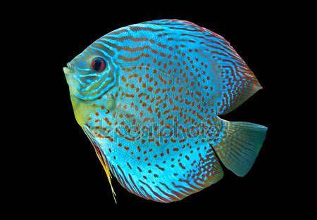 Télécharger - Discus poisson tacheté bleu — Image #18464257